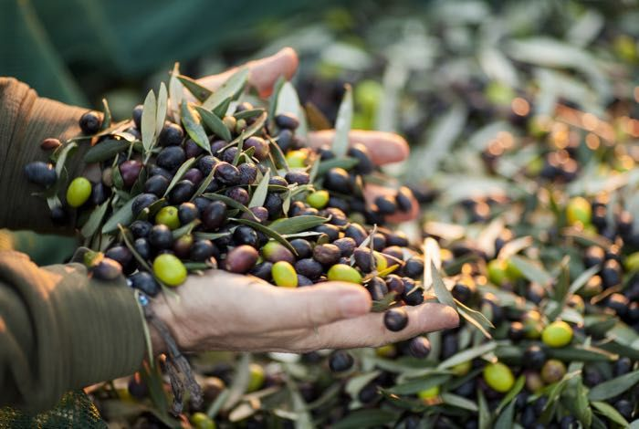 Assisi Tour: Olive harvest ritual